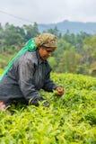 Frau vom Sri Lanka Sammelnteeblatt auf Teeplantage Stockbilder