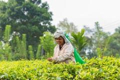 Frau vom Sri Lanka Sammelnteeblatt auf Teeplantage Lizenzfreies Stockbild