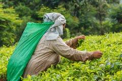 Frau vom Sri Lanka Sammelnteeblatt auf Teeplantage Stockfotos