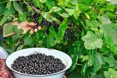 Frau wählt schwarze Johannisbeeren in ihrem Garten aus Lizenzfreies Stockbild