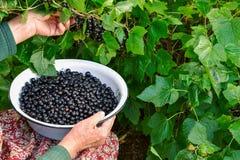 Frau wählt schwarze Johannisbeeren in ihrem Garten aus Stockfoto