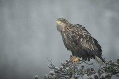 Frau Weiß-angebundener Adler in den starken Schneefällen Stockfotografie