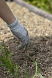 Frau, welche die Schutzhandschuhe, pflanzend im Boden trägt lizenzfreies stockbild