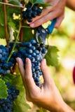 Frau Winemakersammeln-Weintrauben Stockfotos