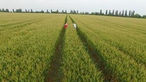 Frau zwei mit dem blonden Haar in einem roten und blauen Kleid gehend auf dem Gebiet mit Weizen stock video