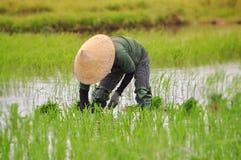Frauen arbeiten an dem Reisfeld lizenzfreie stockfotografie