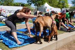 Frauen-Ausdehnungen und Haustier-Tier in der Ziegen-Yoga-Klasse stockfotos