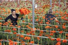 Frauen-Auswahlblumen im Gewächshaus lizenzfreies stockbild
