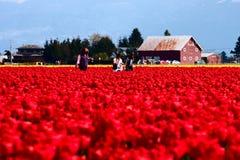 Frauen, die auf dem Gebiet der roten Tulpen gehen Lizenzfreies Stockfoto