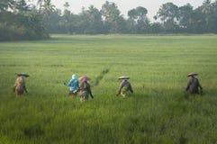Frauen, die auf einem Reisgebiet in Indien arbeiten lizenzfreies stockbild