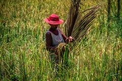 Frauen, die Getreide, Ile Zusatz-Nattes, Toamasina, Madagaskar ernten stockbilder