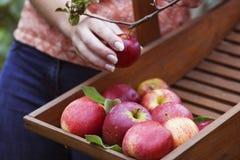Frauen, die organische Äpfel auswählen Stockbilder
