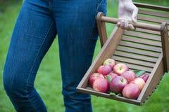 Frauen, die organische Äpfel sammeln Stockbild