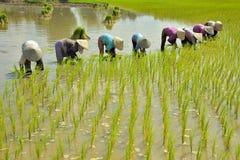 Frauen, die Reis anbauen Lizenzfreie Stockfotografie