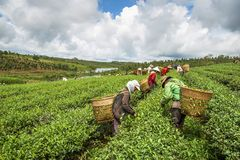 Frauen, die Tee ernten Stockfotografie