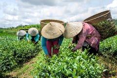 Frauen, die Tee ernten Lizenzfreie Stockbilder