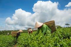 Frauen, die Tee ernten Stockbilder