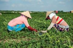 Frauen, die an Wassermelonenfeld arbeiten Stockbild