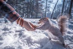 Frauen-Fütterungseichhörnchen im Schnee Stockbilder