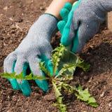 Frauen-Landwirt-Hands With Scoop-Zug-Unkraut im Garten Lizenzfreies Stockbild