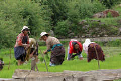 Frauen-Landwirte von Bhutan ernten Reis: BHUTAN - 7. JUNI 2014 Lizenzfreie Stockfotos