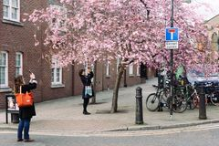 Frauen macht Foto der blühenden Kirsche am Handy Stockfotografie