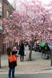Frauen macht Foto der blühenden Kirsche am Handy Stockfoto