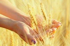 Frauen ` s übergibt erfasste Ohren des Weizens in einer Handvoll Stockfotografie