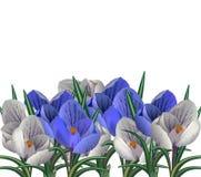 Frauen `s Tag Erster Frühlingsfluß der Vektorillustration Grußkarte mit Blumenkrokussen und einem Band, das Glückwünschen sagt stockfotografie