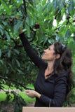 Frauen-Sammeln-Kirschen 2 Lizenzfreie Stockfotos