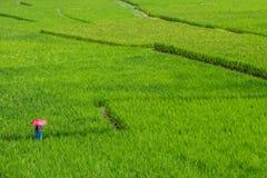 Frauen und roter Regenschirm auf dem grünen Reisgebiet Lizenzfreies Stockfoto