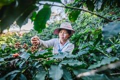 Frauen von Thailand, das roten Kaffeesamen auf Kaffeeplantage auswählt Stockbild
