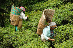 Frauen wählen Teeblätter, Darjeeling, Indien aus stockfoto