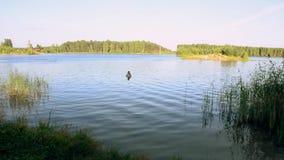 Frauenaufenthalt im See am grünen Wald am sonnigen Tag des Sommers und tauchen dann unter Wasser nave stock video