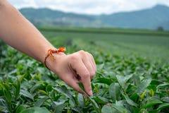 Frauenfinger, die frische oolong Teeblätter im Fokusabschluß aufheben stockfoto