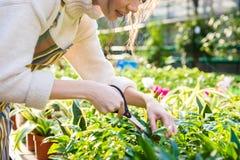 Frauengärtnerzerlegungsbetriebe mit Garten scissors im Gewächshaus Stockbild