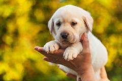 Frauenhände, die ein Labrador-Hündchen gegen gelben Herbstlaubhintergrund halten lizenzfreies stockbild
