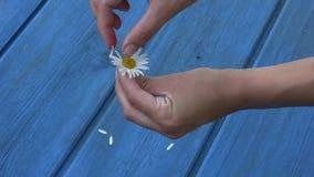 Frauenhände reißen Gänseblümchenblumenblumenblätter auf blauem Bretthintergrund auseinander 4K stock footage