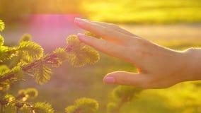 Frauenhand berühren leicht kleinen Frühlingsfichtenbaumast stock footage