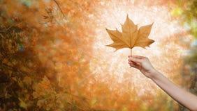 Frauenhand, die ein Herbstblatt hält Stockbild