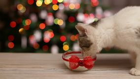 Frauenhand, die einem kleinen Kätzchen Milch gibt stock video footage