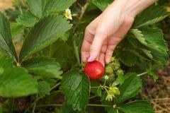 Frauenhand, die herum reife Erdbeere, Blätter, im strawber überprüft lizenzfreie stockfotos