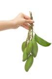 Frauenhand hält grüne Mangofrüchte Lizenzfreie Stockfotografie