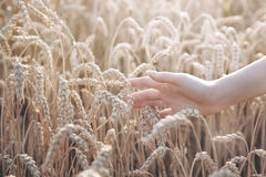 Frauenhand mit dem Ohr des Weizens lizenzfreie stockfotografie