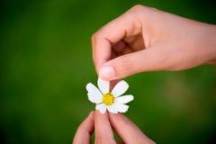 Frauenhand reißt Blumenblätter der Gänseblümchenblume auseinander stockbild