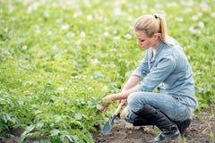 FrauenLandarbeiter, der für die wachsende Ernte sich interessiert stockfotos