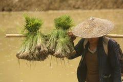 Frauenlandwirt, der auf den Reisgebieten während des Pflanzens von Jahreszeit arbeitet