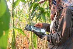 Frauenlandwirt, der das Wachstum des Maisbauernhofes überprüft stockbild