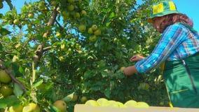 Frauenlandwirt wählt grüne Äpfel aus stock video