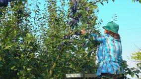 Frauenlandwirt wählt Pflaumen aus stock video footage